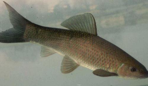 四大家鱼是哪四种?四大家鱼是怎么区分?