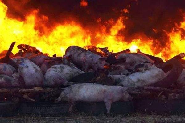 一位遭遇了非洲猪瘟的猪场场长的自述